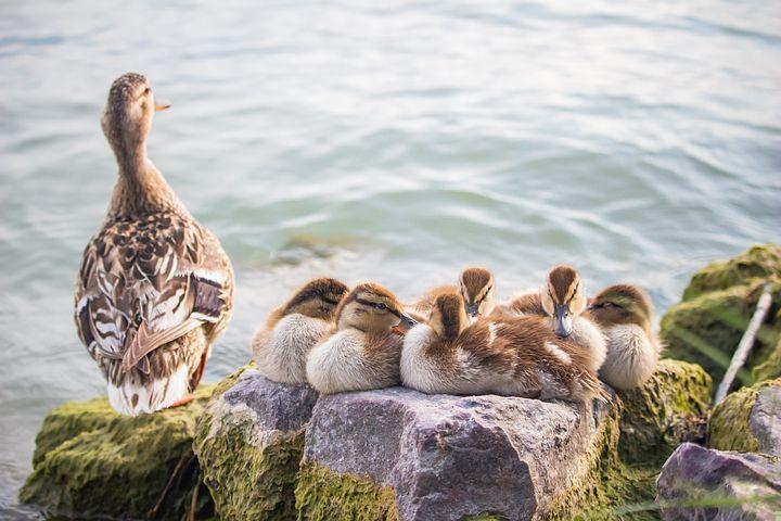 猪把身体靠上来
